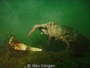 Monterey Bay, crab going after starfish. by Alex Klingen 